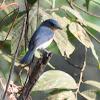 Blue-throated Blue Flycatcher