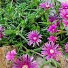 """Trailing Iceplant or """"Pink Carpet"""""""