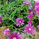 "Trailing Iceplant or ""Pink Carpet"""