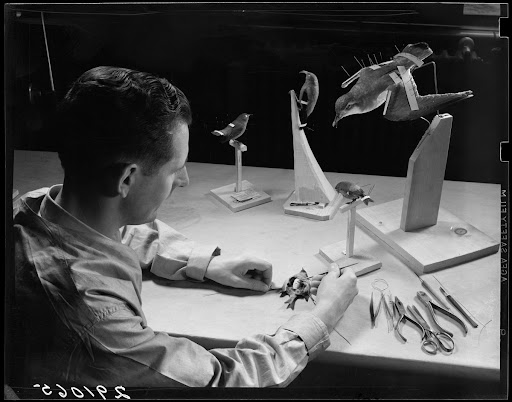 Armin Schmidt inserting tow body into skin for mounting bird, 1939