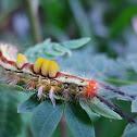 caterpillar------