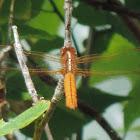 Neon Skimmer Dragonfly (female)