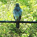 Red Shoudered Hawk