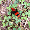 Velvet ant, cow killer