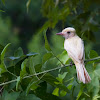 Great Crested Flycatcher (leucistic)