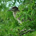 Black Crowned Night Heron (Juvenile)