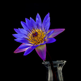 Lotus in Vase by Emily James - Flowers Flower Arangements ( vase, lotus, purple, black, flower,  )