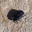 Anteater scarab beetle