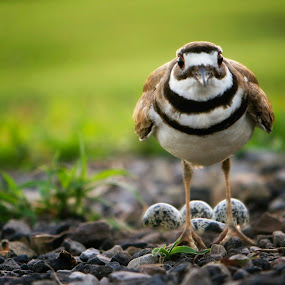 Protective Mama                                                   I just love these birds. by Sandra Millsap - Animals Birds