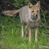 Azara's fox
