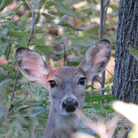 a deer in fontinelle by Chris Clay - Animals Other Mammals