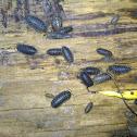 Wood Lice (?)
