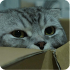 Scottish Fold Cat Wallpaper icon