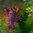 lagostim-vermelho