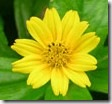 chrysanthemum_yellow