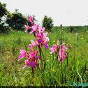 Βutterfly orchid