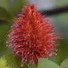 Lipstick Tree, Achiote,