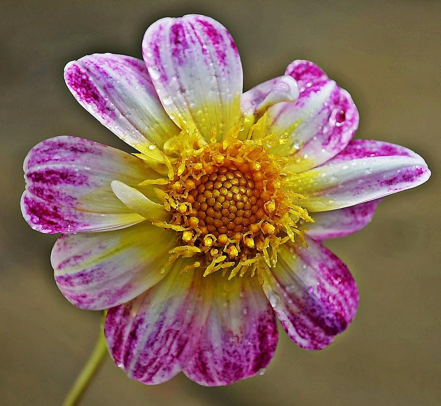 Smile by Muhammad Farooq - Flowers Single Flower