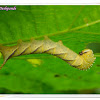 Hawk Moth Caterpillar