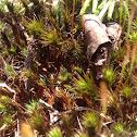 Juniper haircap moss