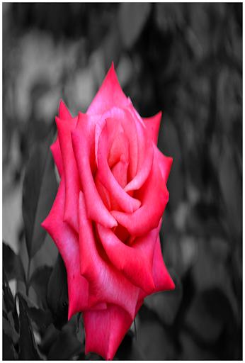 Rose Backgrounds Wallpaper