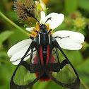 Dinia Moth