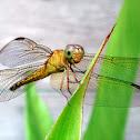 GrGround Skimmer Dragonfly (Female)