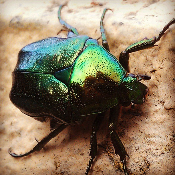 A little beetle. by Vlad Navasca - Animals Insects & Spiders ( macro, itsasmallworld, pokemon, cameraphone, insect, beetle )