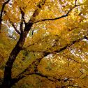 Sawtooth Maple