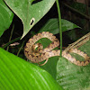 Cat Eyed Snake