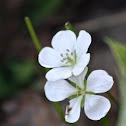 Wild White Geranium