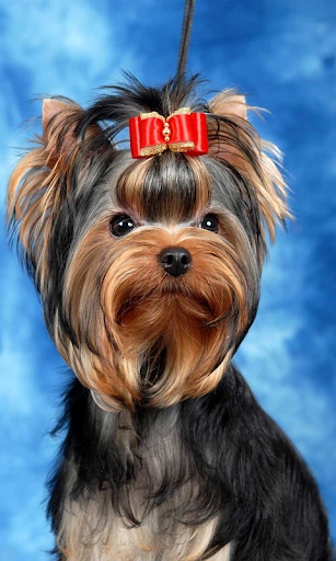 Yorkshire Terrier es