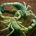 Yellow Fattail Scorpion