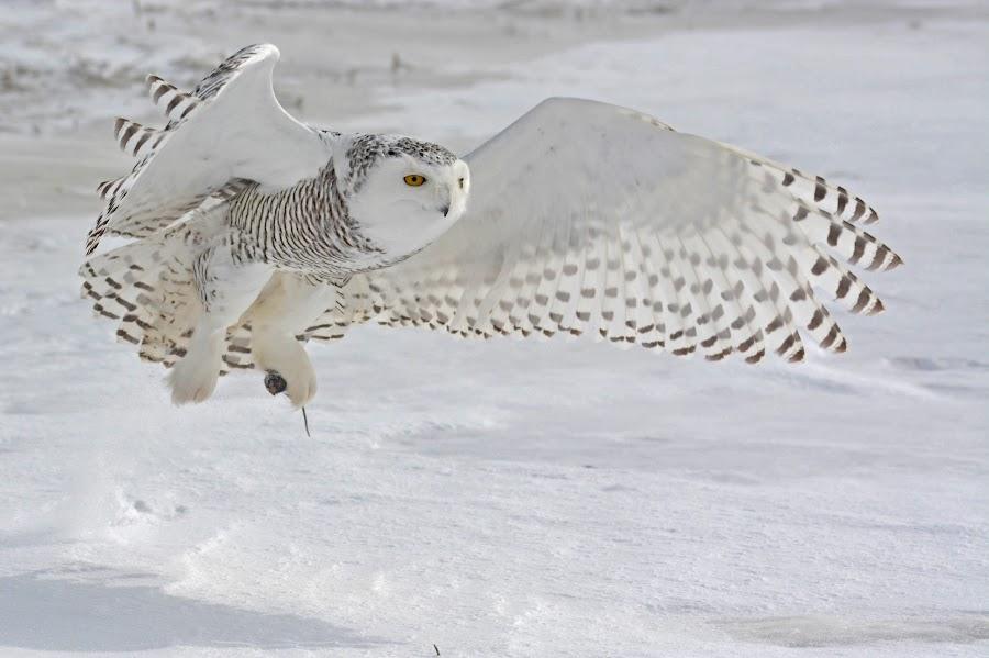 Gotcha! by Dave Barnes - Animals Birds ( snowy owl 01-28-2014 )