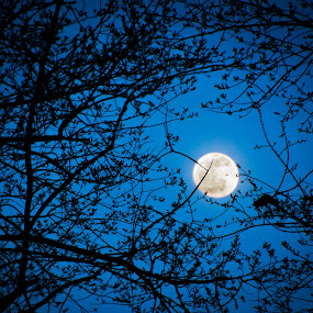 Yellow moon by Andrew Hale - Landscapes Starscapes ( moon, blue, silhouette, trees, night,  )
