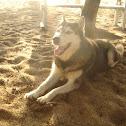 Siberian Husky on Sand