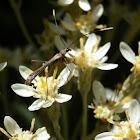 wasp-mimicking longicorn beetle