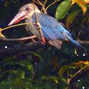 Stork Billed King fisher