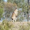 Buck Kangeroo