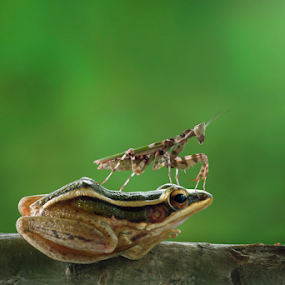 POSE by Robert  Fly - Animals Other ( macro, frog, amphibian, mantis, insect,  )