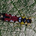 A Leafhopper