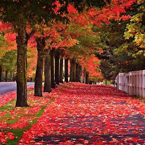 Autumn Walk by Todd Klingler - City,  Street & Park  Neighborhoods ( orange, oregon, picket, fall colors, red leaves, colors, neighborhood, leaf, leaves, gate, fence, red, tree, autumn, sherwood, fall, trees, autumn colors, sidewalk,  )