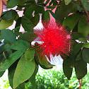 Powderpuff plant