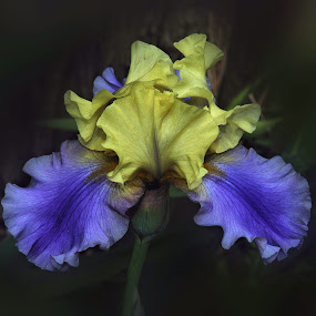 The Colors of Spring by Liz Crono - Flowers Single Flower ( blue, iris, yellow, flowers, spring,  )