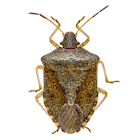 Stink Bug Scout icon