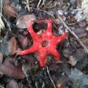 Starfish Stinkhorn mushroom