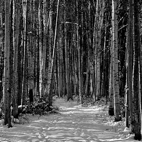 Homeward  Bound by Rebecca Weatherford - Black & White Landscapes ( b&w, snow, trail, path, birchtrees, sunlight, nikon, light, shadows )