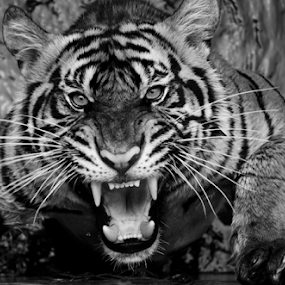 Face to Face by Robert Cinega - Black & White Animals ( black and white, animal )