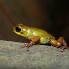 Mustard Poison Dart Frog