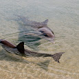 Save the Dolphins - California